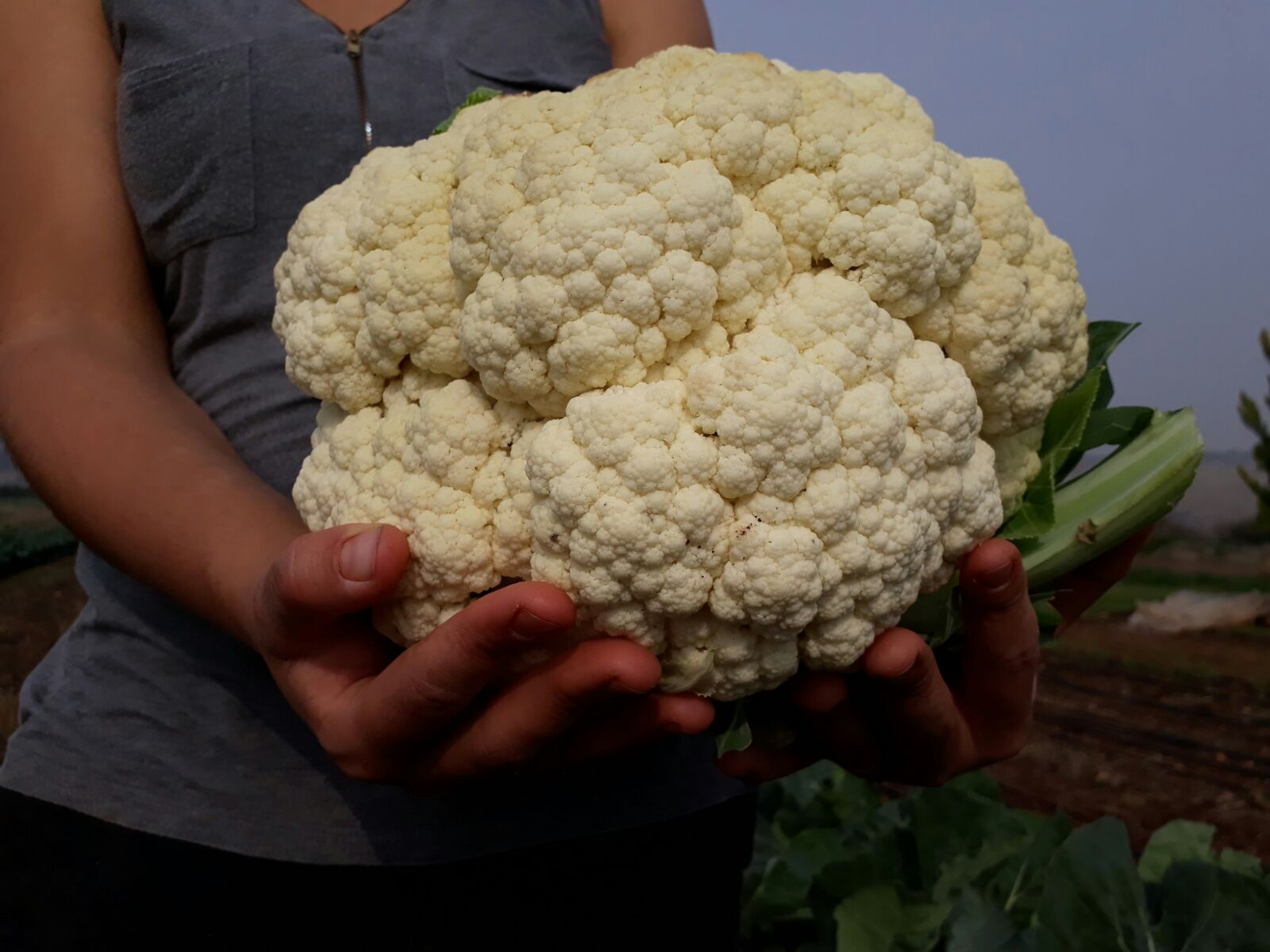 Giant cauliflower 2018
