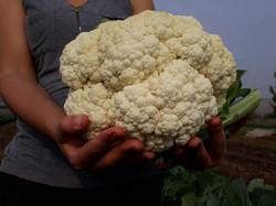 Giant cauliflower 2018