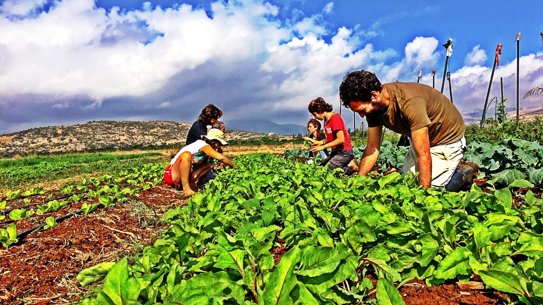 weeding beets