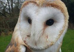 Resident-Owls2