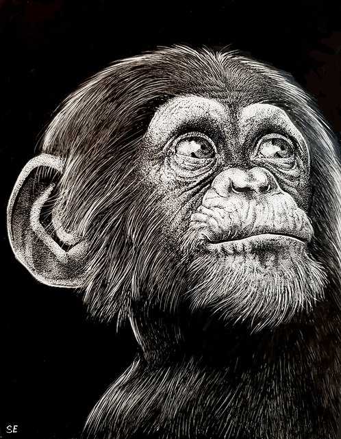 "'Baby Chimpanzee' Original Drawing, 8"" x 10"""