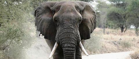 CHARGING ELEPHANT.jpg