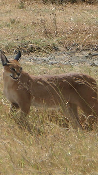 CARACAL%2520%2540%2520NGORONGORO_edited_