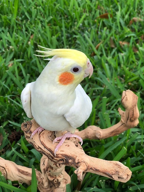 Cockatiel Baby Lutino Yellow