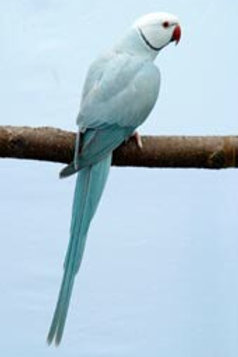 Ringneck Aqua Blue Lacewing (White head & tail)