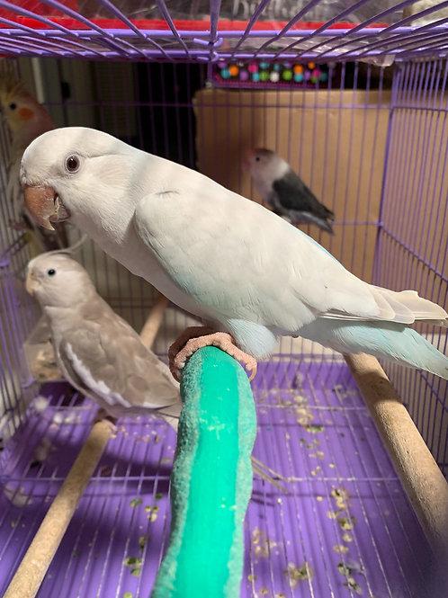 Blue Crossover  Quaker Parrot