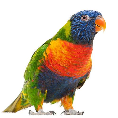 Rainbow Lorikeet baby