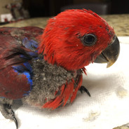 Female Eclectus baby