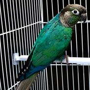 Turquoise Green Cheek Conure