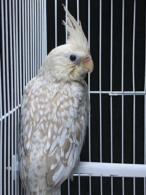 Cockatiel Baby White Faced Pearl