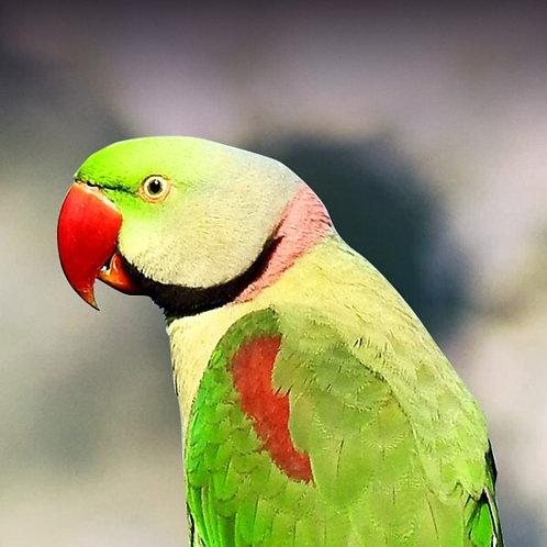 Alexandrine Parrot baby