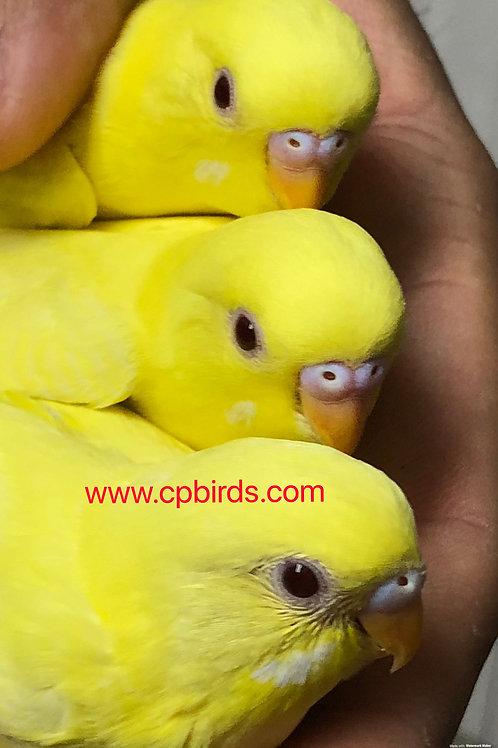 Parakeet Baby Hand Fed
