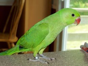 Indian Ringneck Baby Green