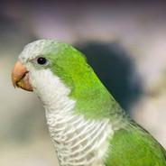 Quaker Parakeet or Monk Parrot