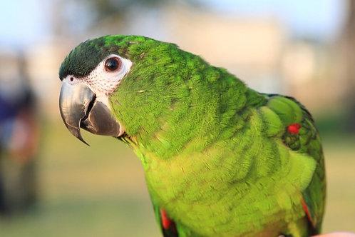 Hans Macaw