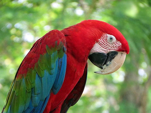 Macaw Green Wing  Baby