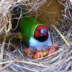 Breeding Gouldian Finches