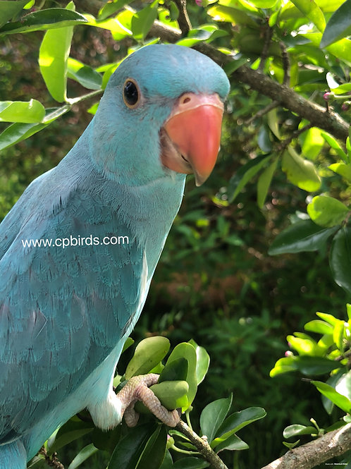 Indian Ringneck Blue Baby (unsexed)
