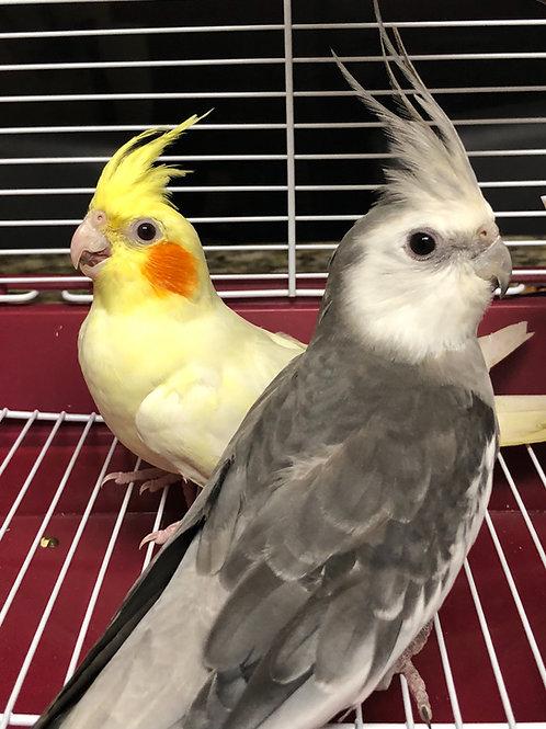 Cockatiels Breeding Pair Premium