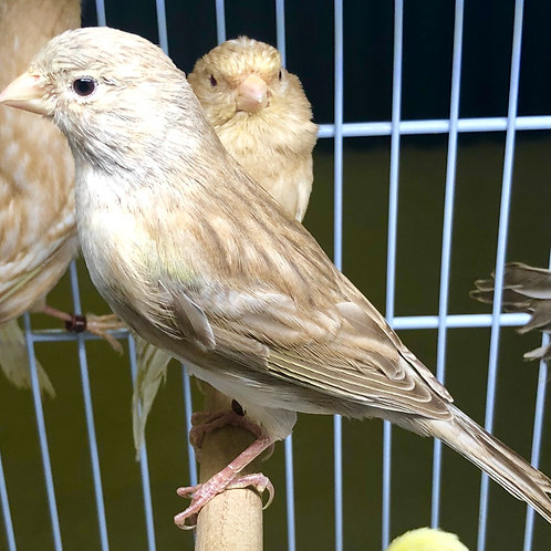 Phaeos Canaries Pair 2017 (Championship Bloodline)