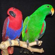 Breeding Pair Eclectus Parrots