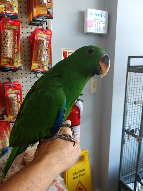 Eclectus Baby Male