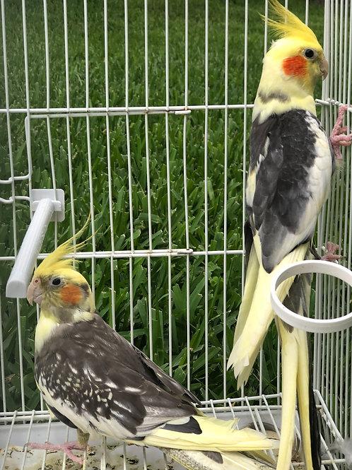 Cockatiels Breeding Pair (Fancy Colors)
