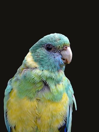 Mulga Parakeet