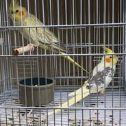 Breeding Pair Cockatiels