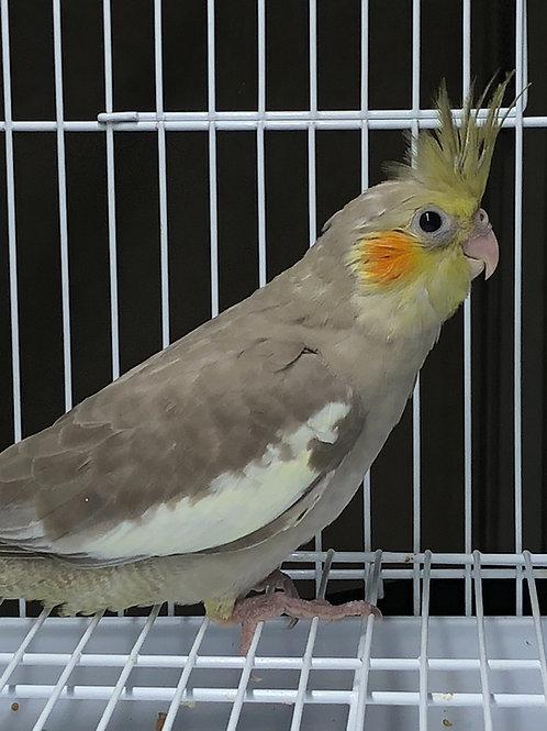 Cockatiel Baby Cinnamon