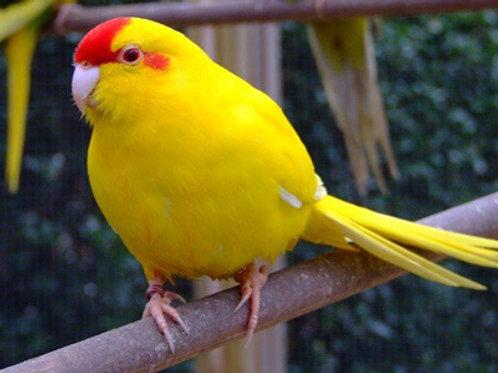 Yellow Kakariki baby hand fed