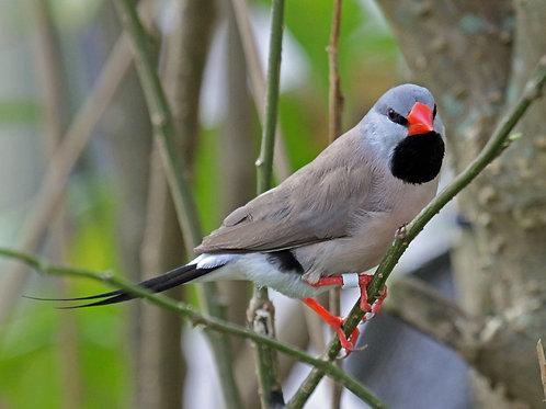 Finch Shaftail