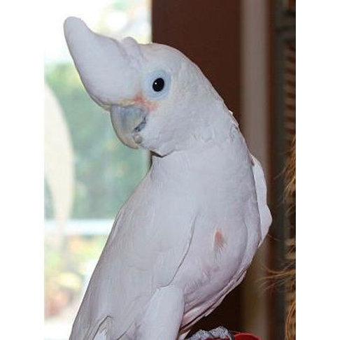 Cockatoo Baby Goffins