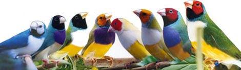 Yellow Gouldian Finch