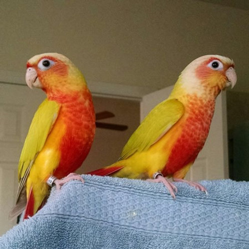 Dilute GC Conure Baby Hand Fed