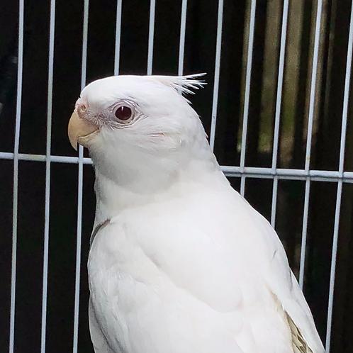 Cockatiel White