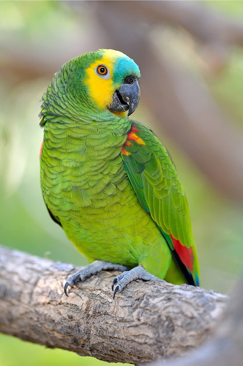 Amazon Blue Fronted