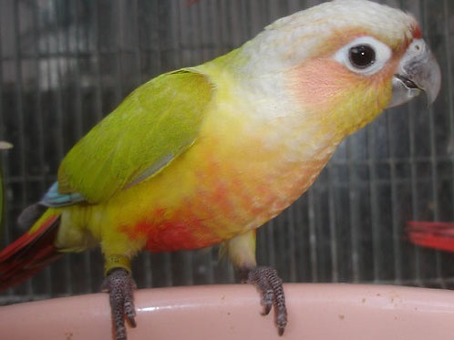 Conures Dilute Breeding Pair