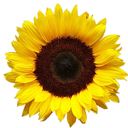 sunflower_PNG13401.png