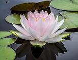 lotus.jpeg