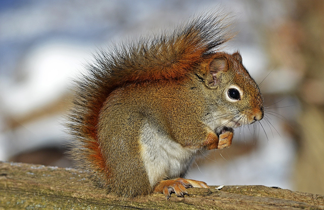 red-squirrel-rodent-nature-wildlife-4074