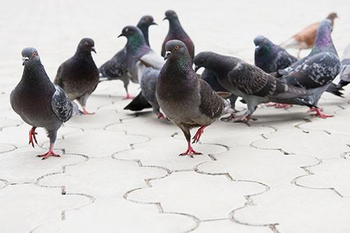 AdobeStock_PigeonsWhiteFloorWEB.jpg