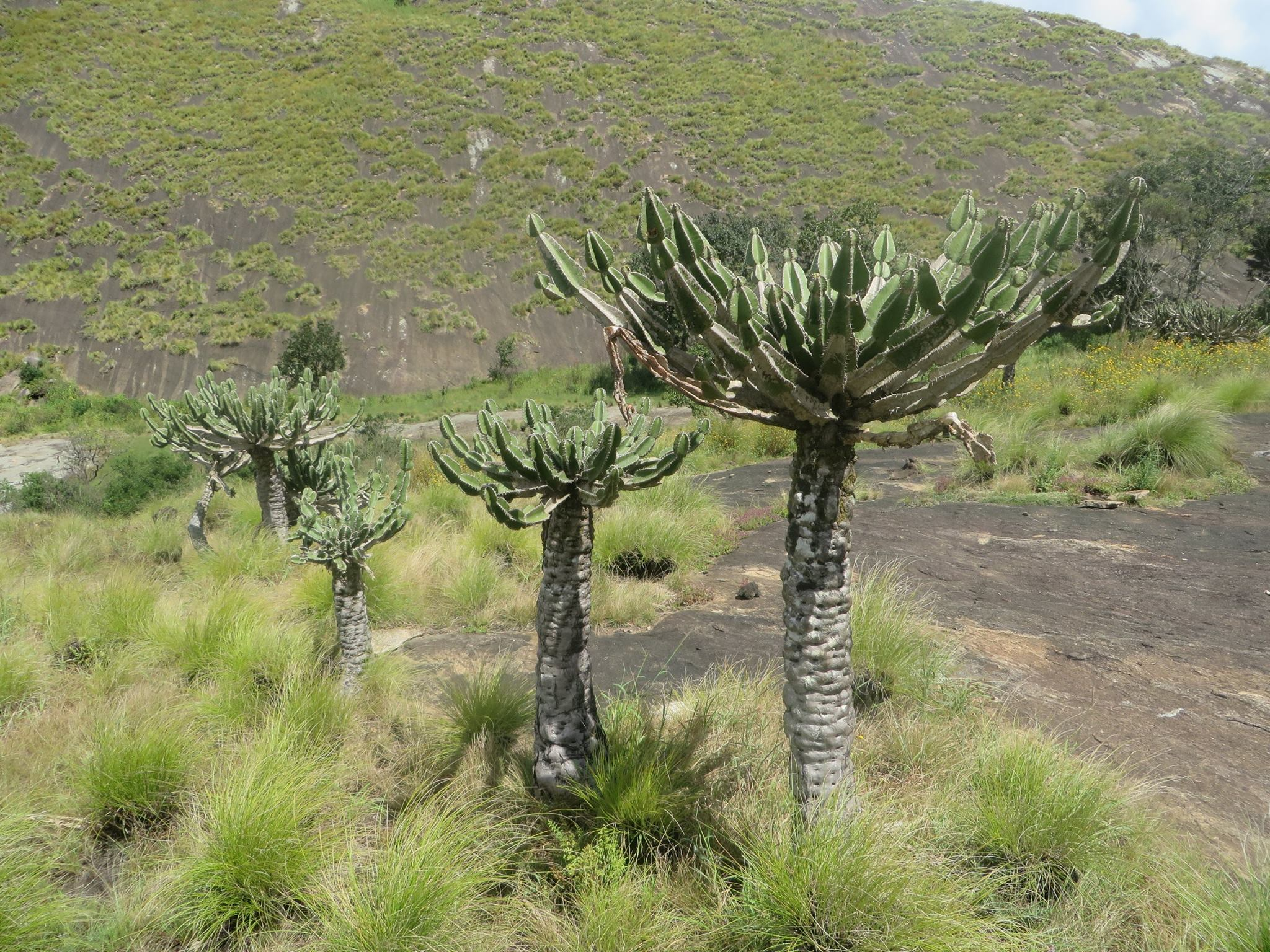 Euphorbia cooperi from zembe mountain in manica province