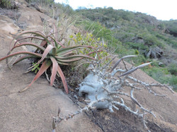 Pachypodium saundersii together with Aloe spicata, in Namaacha, southern Mozambique