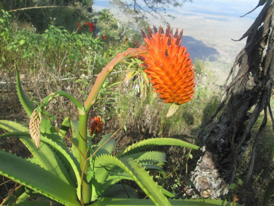 Aloe Ribauensis2