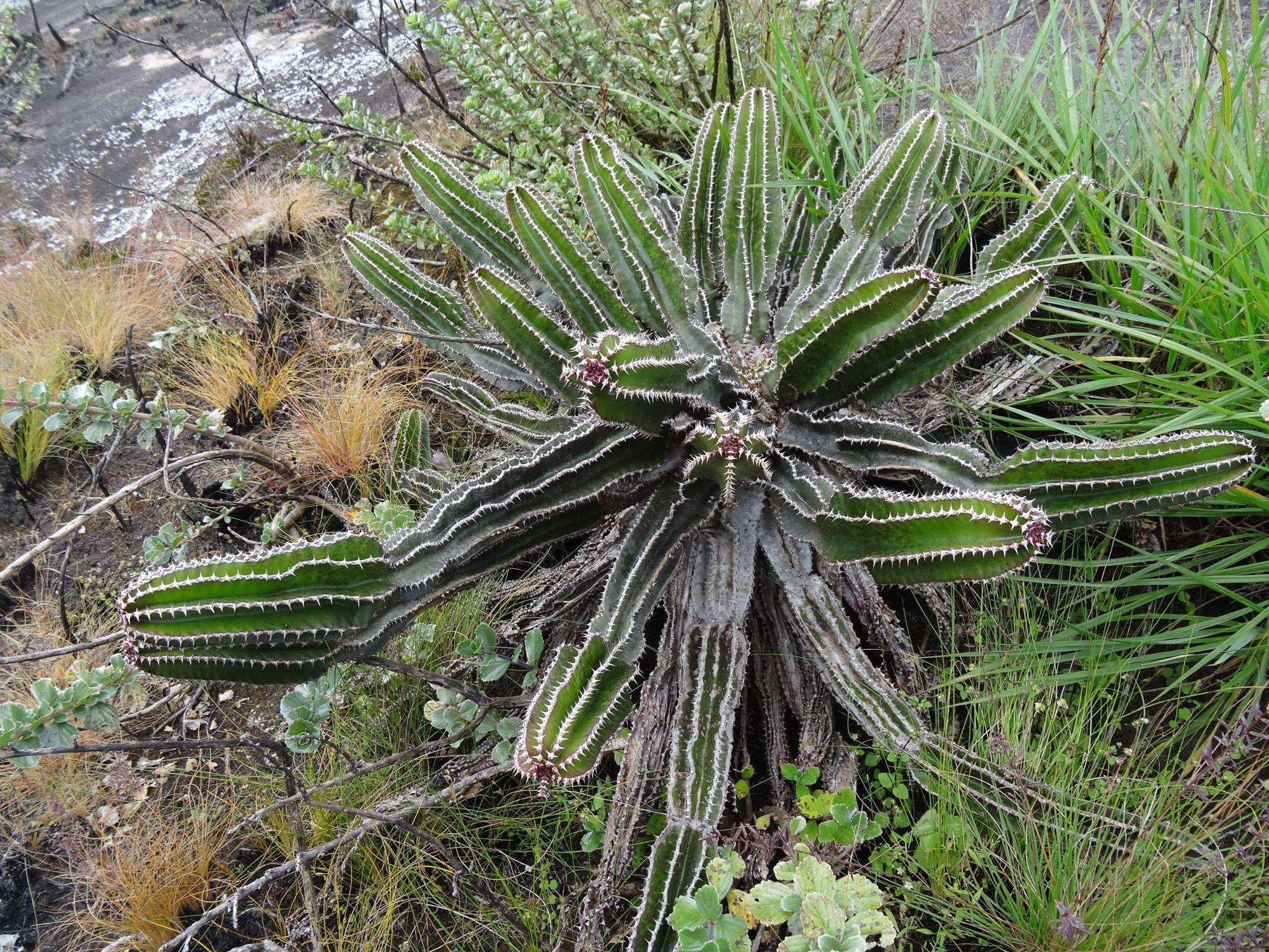 Euphorbia mlanjeana, from Ribaue mountain, in Nampula province, nothern Mozambique