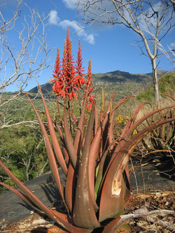 Aloe cryptopoda from Gorongosa mountain in Sofala province center of Mozambique