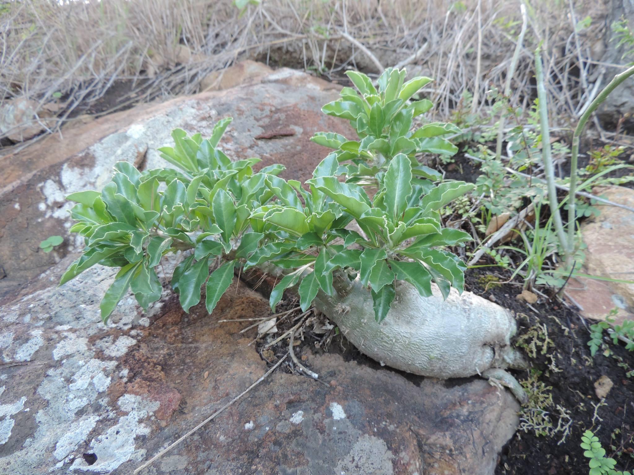 Pachypodium saundersii3