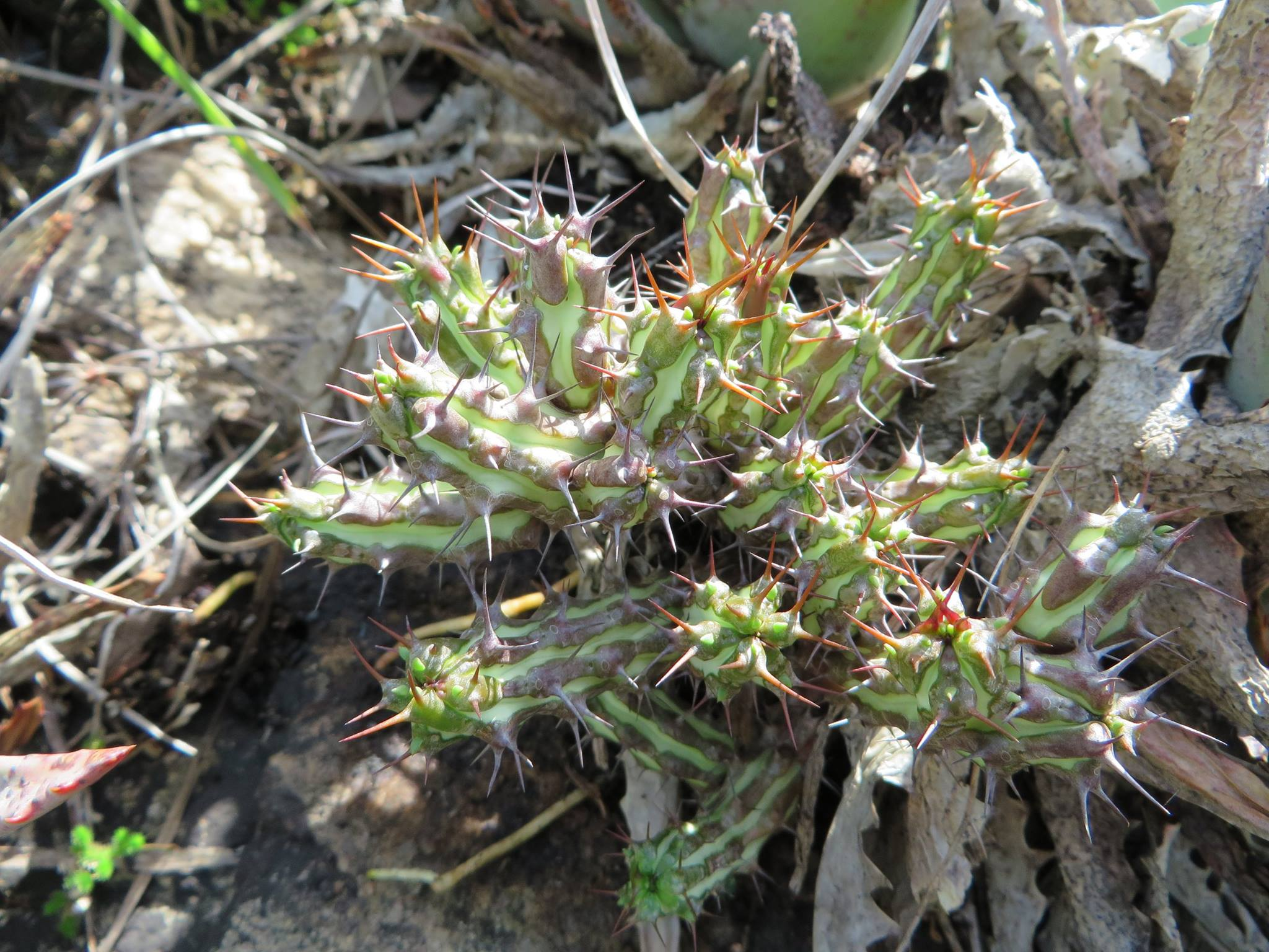 Euphorbia sp, from Montepuez, Cabo delgado province, northern Mozambique