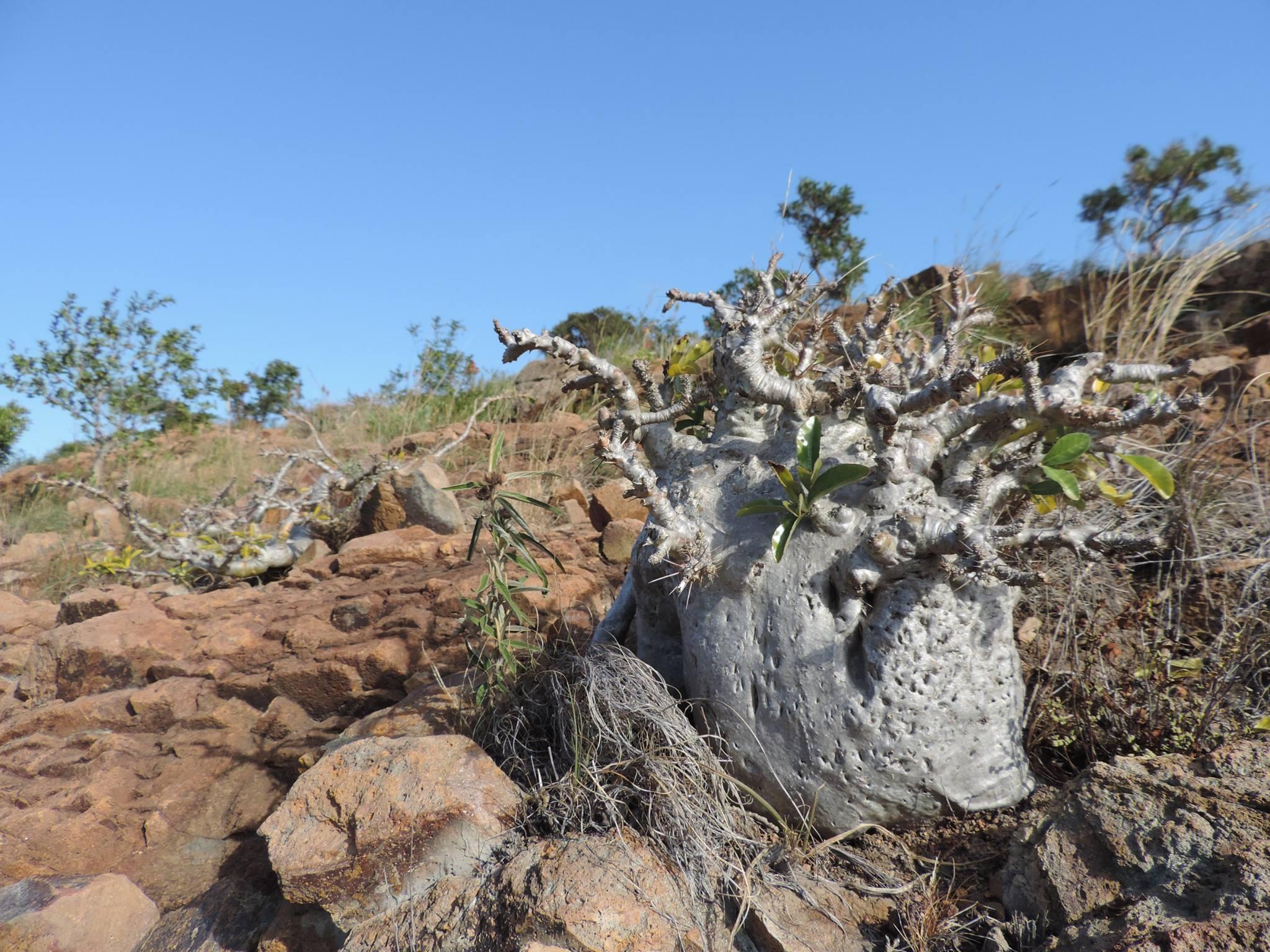 Pachypodium saundersii2